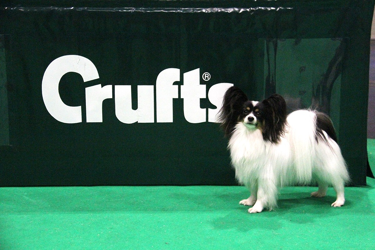 miss martini royal de costalina mimi 1st in yearling bitch jaime le paso doble de costalina popeye selected in open dog - Image De Papillon